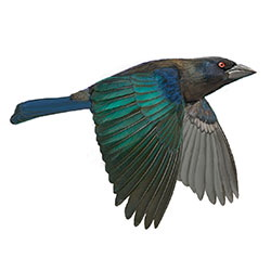 Bronzed Cowbird Flight Illustration.jpg