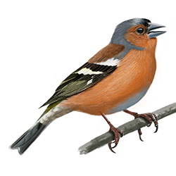Common Chaffinch Body Illustration.jpg