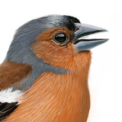 Common Chaffinch Head Illustration.jpg