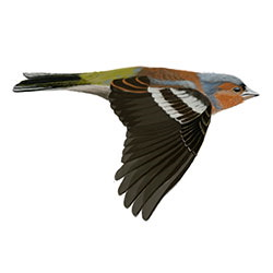 Common Chaffinch Flight Illustration.jpg