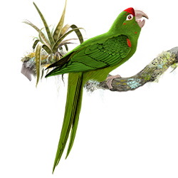 Mitred Parakeet Body Illustration