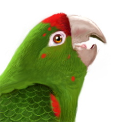 Mitred Parakeet Head Illustration