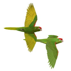 Mitred Parakeet Flight Illustration
