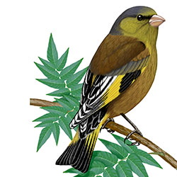 Oriental Greenfinch Body Illustration