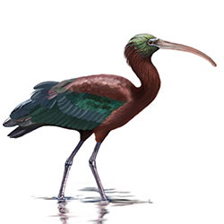 Glossy Ibis Body Illustration.jpg