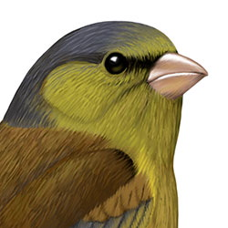 Oriental Greenfinch Head Illustration