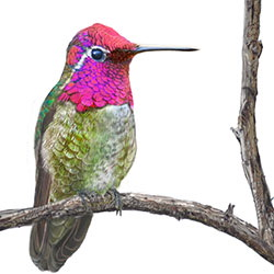 Anna's Hummingbird Body Illustration