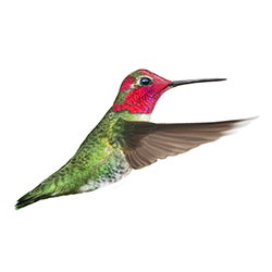 Anna's Hummingbird Flight Illustration