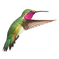 Broad-tailed Hummingbird Flight Illustration.jpg