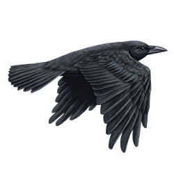 Northwestern Crow Flight Ilustration