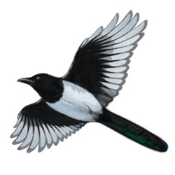 Black-billed Magpie Flight Illustration