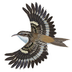 brown creeper coloring pages - photo#28