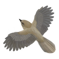Bushtit Flight Illustration