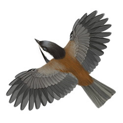 Chesnut-backed Chickadee Flight Illustration