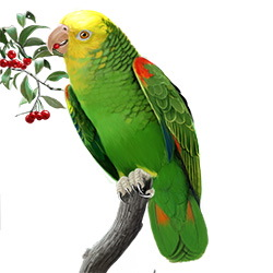 Yellow-headed Parrot Body Illustration