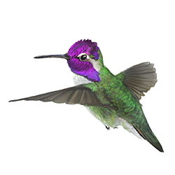 Costa's Hummingbird Flight Illustration.jpg