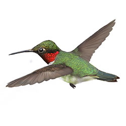 Ruby-throated Hummingbird Flight
