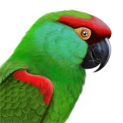 Thick-billed Parrot Head Illustration