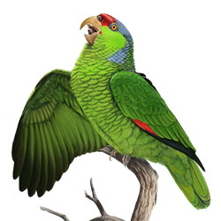 Lilac-crowned Parrot Body Illustration