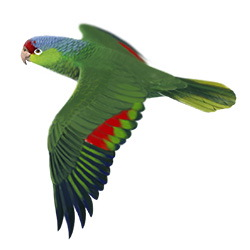 Lilac-crowned Parrot Flight Illustration