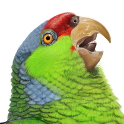 Lilac-crowned Parrot Head Illustration