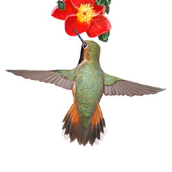Rufous Hummingbird Flight Illustration.jpg