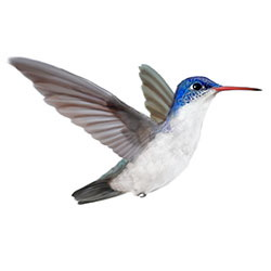 Violet-crowned Hummingbird Flight Illustration