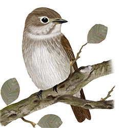 Dark-sided Flycatcher Body Illustration