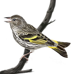 Pine-Siskin Body Illustration