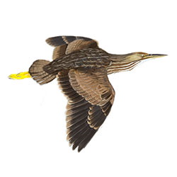American Bittern Flight Illustration