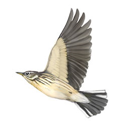 American Pipit Flight Illustration