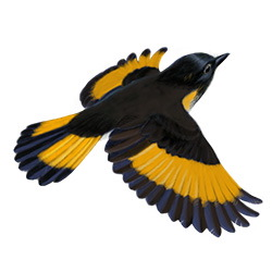 American Redstart Flight Illustration