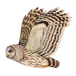 Barred Owl Flight Illustration.jpg