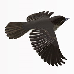 Black Phoebe Flight Illustration.jpg