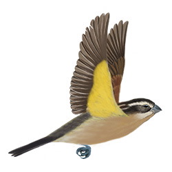 Black-headed Grosbeak Flight Illustration