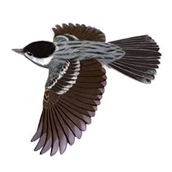 Blackpoll Warbler Flight Illustration
