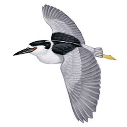 Black-crowned Night-Heron Flight Illustration