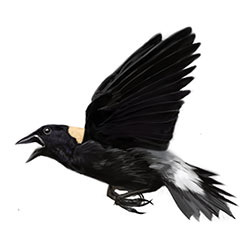 Bobolink Flight Illistration
