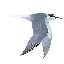 Aleutian Tern Flight Illustration