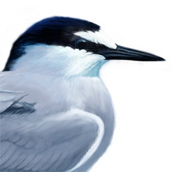 Aleutian Tern Head Illustration