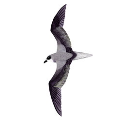 Fea's Petrel Flight Illustration