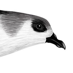 Fea's Petrel Head Illustration