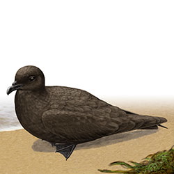 Herald Petrel Body Illustration