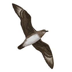 Herald Petrel Flight Illustration