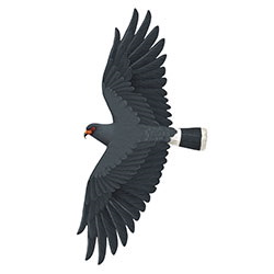 Snail Kite Flight Illustration