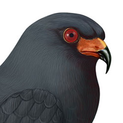 Snail Kite Head Illustration