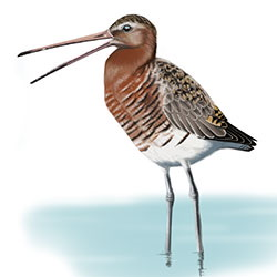 Black-tailed Godwit Body Illustration