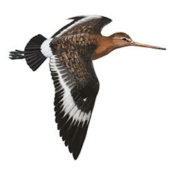 Black-tailed Godwit Flight Illustration