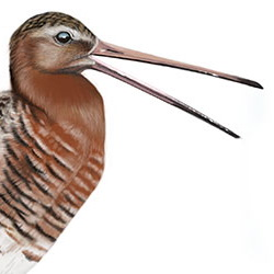Black-tailed Godwit Head Illustration