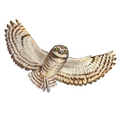 Burrowing Owl Flight Illustration.jpg